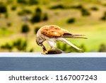 australian kestrel  nankeen... | Shutterstock . vector #1167007243