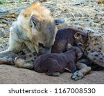 Small photo of Hyena feeding her cubs