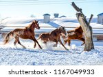 Stock photo horses galloping on winter snow horse farm winter snow horse farm scene horse gallop three horses 1167049933