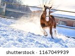 Stock photo horse running on winter snow horse farm winter snow horse gallop horse galloping on winter snow 1167049939