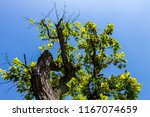 the silhouette of tree stands... | Shutterstock . vector #1167074659
