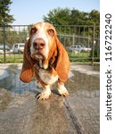a basset hound at a public pool on the deck - stock photo