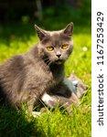Stock photo family of cats outdoor cat with the baby kitten on grass cat hugs kitten cat plays kitten 1167253429