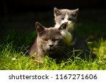 Stock photo family of cats outdoor cat with the baby kitten on grass cat hugs kitten cat plays kitten 1167271606