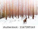 lonely noble deer male in pine... | Shutterstock . vector #1167285163