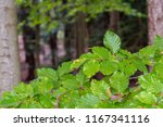 green beech leaves in a beech... | Shutterstock . vector #1167341116