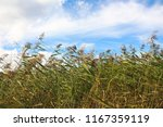 reed on the beach meadows at... | Shutterstock . vector #1167359119