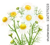 chamomile. a bouquet of... | Shutterstock .eps vector #1167375223