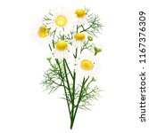 chamomile. a bouquet of... | Shutterstock .eps vector #1167376309