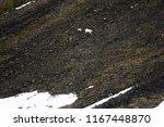 polar bears on franz joseph...   Shutterstock . vector #1167448870
