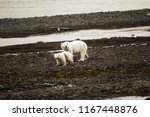 polar bears on franz joseph...   Shutterstock . vector #1167448876