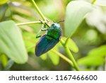 jewel beetle on the leaf tree...   Shutterstock . vector #1167466600