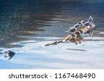 birds at caburgua lake  chile. | Shutterstock . vector #1167468490