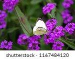 Pieris Brassicae  White Big...