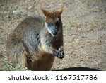 A Young Wallaby Feeding On Dry...