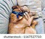 shepherd dog sleeping on sofa... | Shutterstock . vector #1167527710
