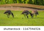 Canadian Goose Feeding On Golf...