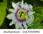 Stunning Flower Of Passiflora...
