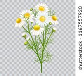 chamomile. a bouquet of... | Shutterstock .eps vector #1167557920