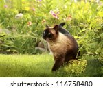 Stock photo the beautiful brown cat siamese with blue green eyes lies in a green grass and leaves 116758480