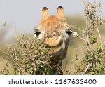 giraffe  giraffa camelopardalis ... | Shutterstock . vector #1167633400