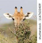 giraffe  giraffa camelopardalis ... | Shutterstock . vector #1167633409