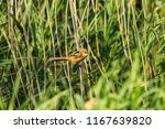greenfinch  chloris chloris  ... | Shutterstock . vector #1167639820