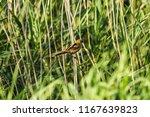 greenfinch  chloris chloris  ... | Shutterstock . vector #1167639823
