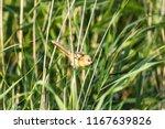 greenfinch  chloris chloris  ... | Shutterstock . vector #1167639826