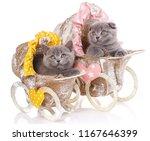 Stock photo scottish straight and scottish fold cute kittens in pram kittens concept postcard valentine s day 1167646399
