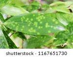 weeping willow scientific name ...   Shutterstock . vector #1167651730