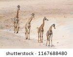 giraffe in kruger national park ... | Shutterstock . vector #1167688480