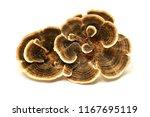 Trametes Versicolor Mushroom ...