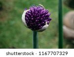 flower of decorative onion...