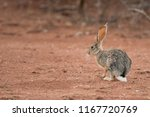 Stock photo african savanna hare lepus microtis don t move 1167720769