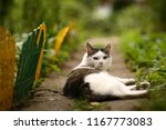tom mail blue eyed cat close up ...   Shutterstock . vector #1167773083