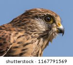 juvenile kestrel close up | Shutterstock . vector #1167791569