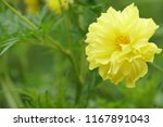 yellow cosmos or cosmos... | Shutterstock . vector #1167891043