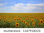 Sunflowers Field On Background...