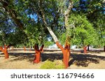 Cork Trees Stripped At Portugal