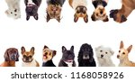 Stock photo differents dogs looking at camera isolated on a white background 1168058926