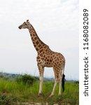rothchilds giraffe  giraffa... | Shutterstock . vector #1168082089