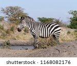 burchells zebra  equus... | Shutterstock . vector #1168082176