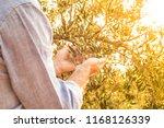 farmer's hands control olives... | Shutterstock . vector #1168126339