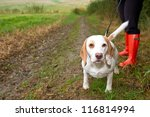 Stock photo beagle being walked on a lead in the field 116814994