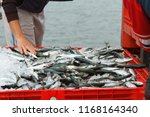 fresh fish just unloaded from... | Shutterstock . vector #1168164340
