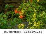 bunches of red orange ashberry... | Shutterstock . vector #1168191253