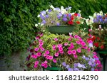 lavatera  bloom pink flowers.... | Shutterstock . vector #1168214290