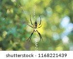 Black And Yellow Garden Spider  ...
