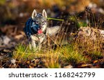 hunting dog seeking prey in the ... | Shutterstock . vector #1168242799